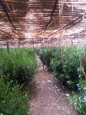 自園の碾茶の品種について